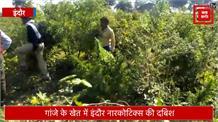 खेत में बोया गया था 20 लाख का गांजा, नारकोटिक्स विभाग ने की छापेमार कार्रवाई