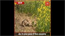 Chandauli: खेत में घायल हालत में मिला लकड़बग्घा, ग्रामीणों में मचा हड़कंप
