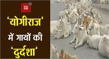 'योगीराज' में गायों की 'दुर्दशा': गौशाला में मरती गायें, नोच-नोचकर खा रहे जानवर
