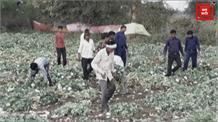 गेहूं के खेत की बीच में की जा रही थी अफीम की खेती, प्रशासन की टीम ने दबिश देकर की जब्ति