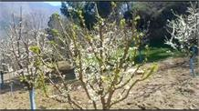 FEB Flowering से महकी कुल्लू घाटी
