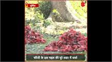 #Purnea: फौजी ने पर्यावरण की रक्षा करने का उठाया ज़िम्मा, शादी में देंगे मेहमानों को पौधे