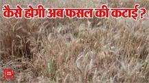 किसानों की बढ़ी चिंता, खेतों में फसल पककर तैयार, लेकिन कटाई के लिए नहीं मजदूर