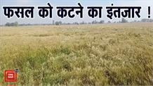 खेतों में खड़ी पकी फसल, मजदूरों और मशीनों की राह देखते किसान