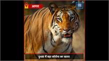 अमेरिका के कारण भारत के नेशनल पार्क में हुआ अलर्ट, बाघों की देखरेख के लिए डॉक्टर हुए तैनात