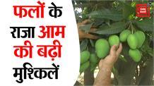 Uttar Pradesh: लॉकडाउन ने बढ़ाई फलों के राजा आम की मुसीबत ,उत्पादक हुए परेशान