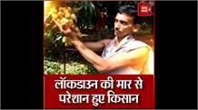 बेगूसराय के लीची उत्पादक किसानों की फसल की नहीं हुई खरीद, गिरिराज सिंह की चुप्पी से बेहाल हैं किसान