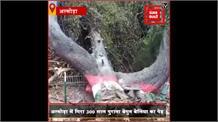 आँधी बारिश में गिरा अल्मोड़ा का 300 साल पुराना का पेड़ ,शहर का ऐतिहासिक और आकर्षण का केंद्र था पेड़