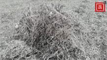 कुदरत की मार से टूट गए किसान, खुद ही बर्बाद कर रहे अपनी फसल