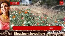 केसर की खुशबू से महकेगा हिमाचल, बिलासपुर के किसान ने कर दिखाया कमाल