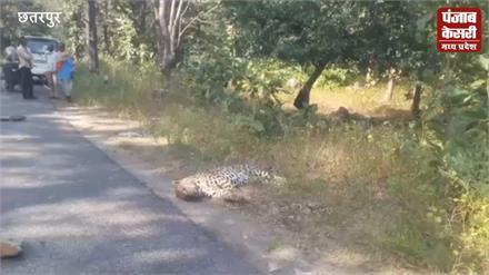 तेज रफ्तार वाहन की टक्कर से तेंदुए की मौत