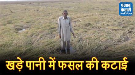 पानी से भरे खेतों में फसल काटने को मजबूर हुए किसान, मुआवजा देने की मांग की