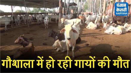 गोहाना नंदी शाला में हो रही हर रोज कई गायों की मौत, गौरक्षकों ने काटा बवाल