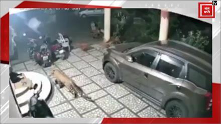 कुत्ता भी सोया था, तेंदुआ भी आया था,हुआ वार पर बच गया अबकी बार