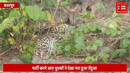 पार्टी करने आए युवकों ने जंगल में देखा मरा हुआ तेंदुआ, मचा हड़कंप