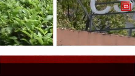 कोरोना महामारी के बीच बड़ी खुशखबरी: कोविड-19 से बचाएगी पालमपुर की चाय