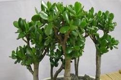 धन की कमी नहीं होने देगा यह पौधा, मनी प्लांट से भी है ज्यादा असरदार