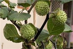 आयुर्वेदिक गुणों से भरपूर है धतूरे का पौधा, कई बीमारियां होंगी दूर