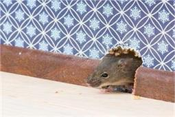 चूहे को घर में घुसने नहीं देंगे ये घरेलू नुस्खे
