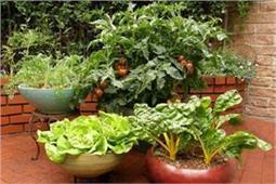 गमलों में उगाएं ये मौसमी सब्जियां, बनेगी बेहद स्वादिष्ट