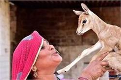 बिश्नोई समाज की औरतें क्यों पिलाती हैं हिरण को अपना दूध?