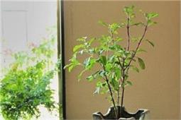 घर की इस दिशा में लगाएं तुलसी का पौधा, दूर होंगे वास्तु दोष