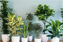 मच्छरों को कहना है बाय-बाय तो घर में जरूर लगाएं ये पौधे