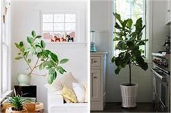 Indoor Planting: डैकोरेशन के साथ घर को ठंडक भी देते हैं ये पौधे
