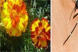 मच्छरों से छुटकारा पाने के लिए घर में लगाएं ये पौधे