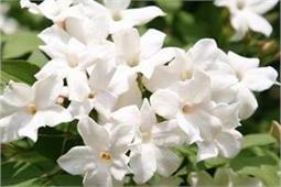 सिर्फ देखने में खूबसूरत ही नहीं सेहत के लिए भी फायदेमंद है ये फूल
