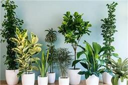Air Pollution:  जहरीली हवा को शुद्ध करने के लिए घर में जरूर लगाएं ये 11 पौधे