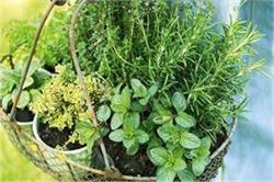 गर्मियों में इन हर्ब्स का करेंगे सेवन तो शरीर को मिलेगी खूब ठंडक