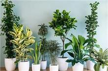 Air Pollution:  जहरीली हवा को शुद्ध करने के लिए घर में जरूर...