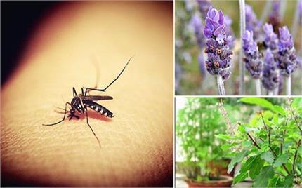 सजावट ही नहीं मच्छरों को भगाने के लिए लगाएं ये पौधे