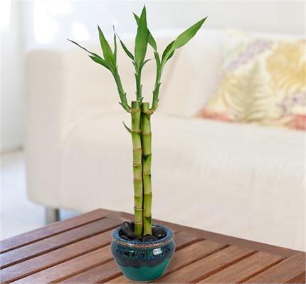 अच्छी सेहत के लिए घर में रखें पॉजिटिव पौधा, बरकत भी रहेगी बेशुमार
