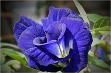 किस्मत बदल देगा नीले फूल का टोटका, जानिए कैसे करें उपयोग?
