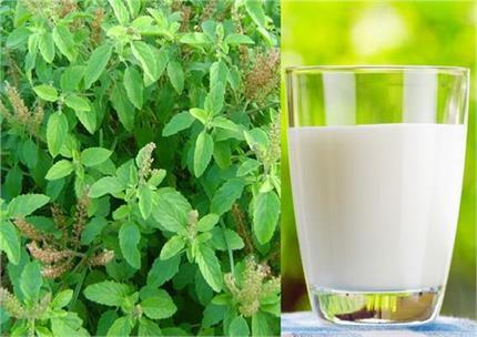 माइग्रेन और किडनी स्टोन का इलाज है तुलसी वाला दूध, मिलेंगे कई लाजवाब...