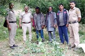 शिमला में अफीम की खेती का भंडाफोड़, 238 पौधों सहित एक...