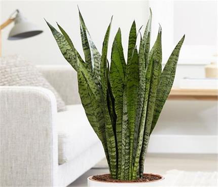 सुकून भरी नींद चाहिए तो बैडरूम में जरूर रखें यह पौधा