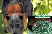 चमगादड़ से इंसानों में कैसे फैला Nipah Virus? वैज्ञानिकों...