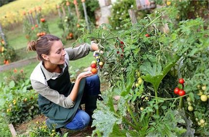 Kitchen Garden: आर्गेनिक सब्जियां खुद उगाएं, सर्दियों में उगने वाली...