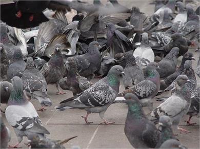 Health Alert! कबूतर की वजह से महिला हुई लंग्स इंफैक्शन की शिकार