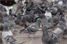 Health Alert! कबूतर की वजह से महिला हुई लंग्स इंफैक्शन की...