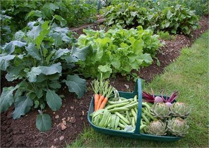 Kitchen Garden: 30 दिन में उगाएं ये 8 सब्जियां, सेहत के लिए भी...
