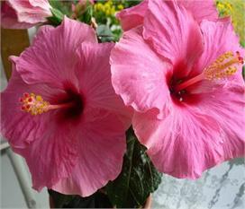 जानिए गुड़हल की पत्तियों और फूलों से मिलने वाले स्वास्थ्य...