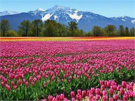Flower Mela: दुनियाभर में फेमस है कश्मीर का ट्यूलिप...