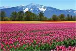 Flower Mela: दुनियाभर में फेमस है कश्मीर का ट्यूलिप फेस्टिवल, जरूर...