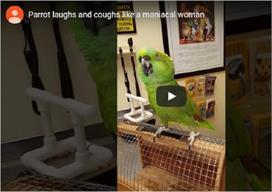 Amazing: महिला की तरह हंस रहा है यह तोता!