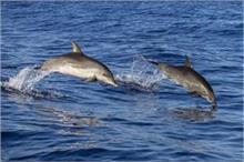 डॉलफिन ने फिर की समुद्र से दोस्ती, Arabian Sea पर आई नजर