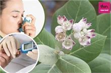 गुणों की खान है आक का पौधा, एलर्जी से लेकर बवासीर का पक्का...